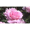 008 flower (stock movie HD material)