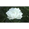 Flower 010 (stock movie HD material)