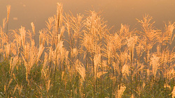 Miscanthus sinensis 006 (stock movie HD material)
