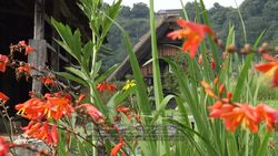 Flowers of the world heritage site, Shirakawa-go Gassho houses and Crocosmia