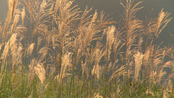 Miscanthus sinensis 003 (stock movie HD material)